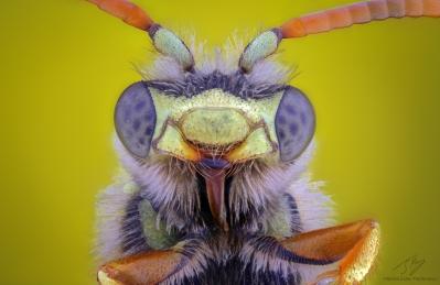 yellow wasp2.jpg