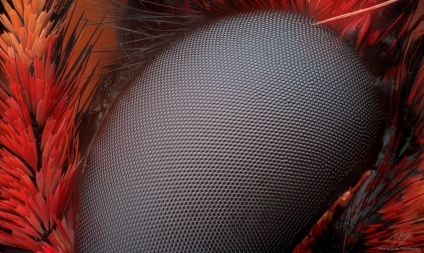 Zerynthia polyxena eye.jpg