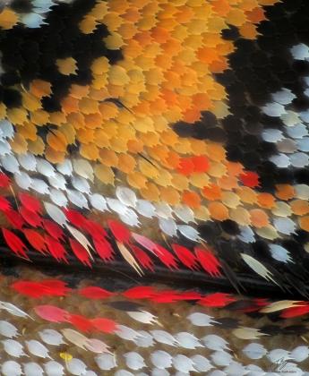Zerynthia polyxena scales.jpg