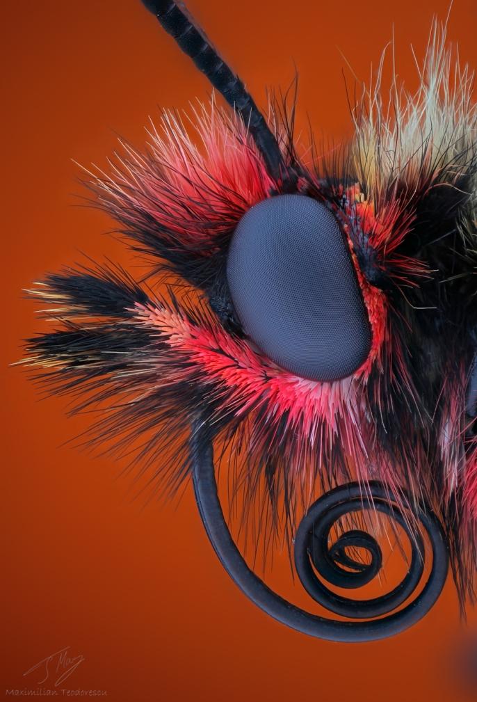 Zerynthia polyxena1.jpg