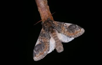 Notodonta triotophus.jpg