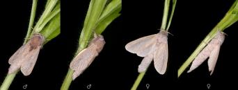 Phragmataecia castaneae.jpg