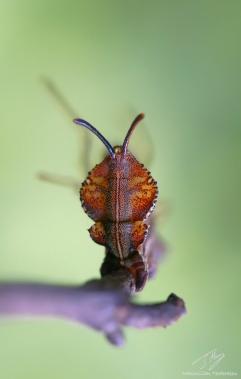Stauropus fagi2.jpg