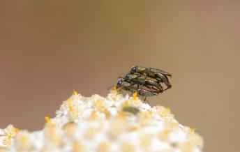 Buprestidae21.jpg