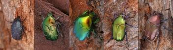 Cetoniidae2019.jpg