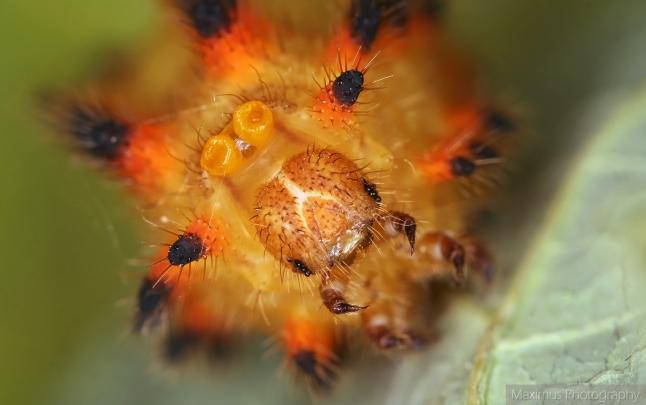 larvae polyxena 4.jpg
