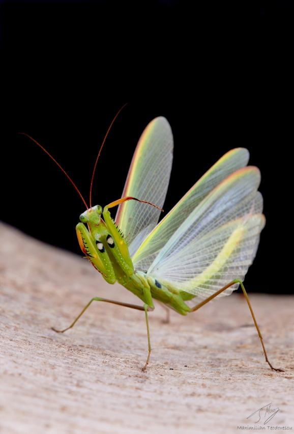 Mantis religiosa 1.jpg