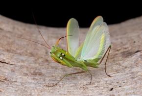 Mantis religiosa 2.jpg