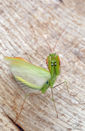Mantis religiosa 3.jpg