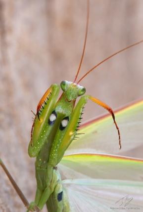 Mantis religiosa 4.jpg