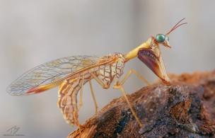 Mantispa1.jpg