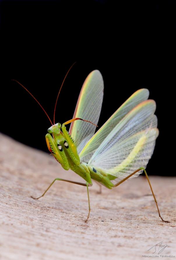 mantis-religiosa-1.jpg