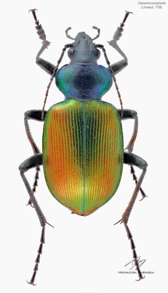 Calosoma sycophanta.jpg