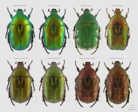 Cetoniidae.jpg