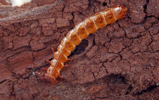 Cucujus cinnaberinus larva.jpg