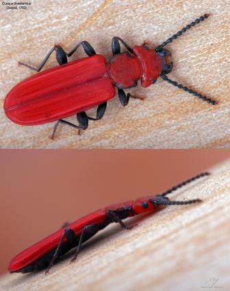 Cucujus cinnaberinus.jpg
