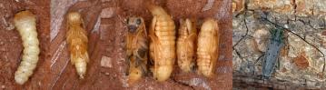 larvaNimfaAdult.jpg