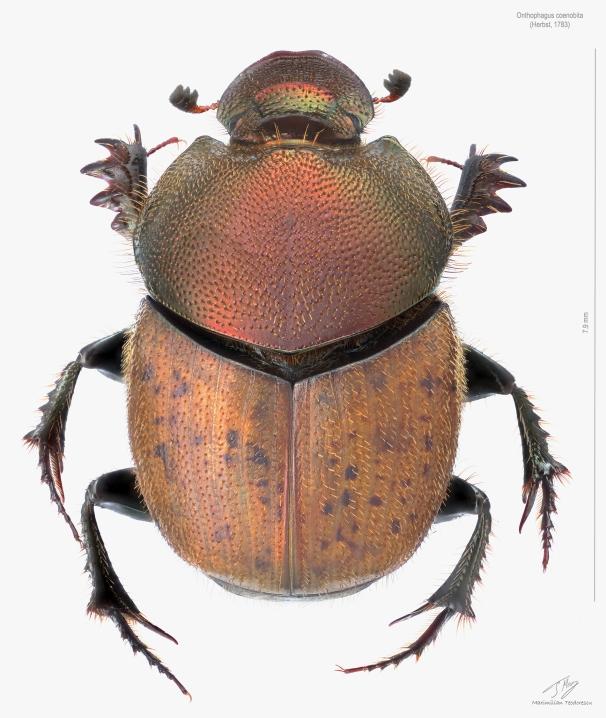 Onthophagus coenobita.jpg