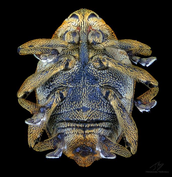 Curculionidae.jpg